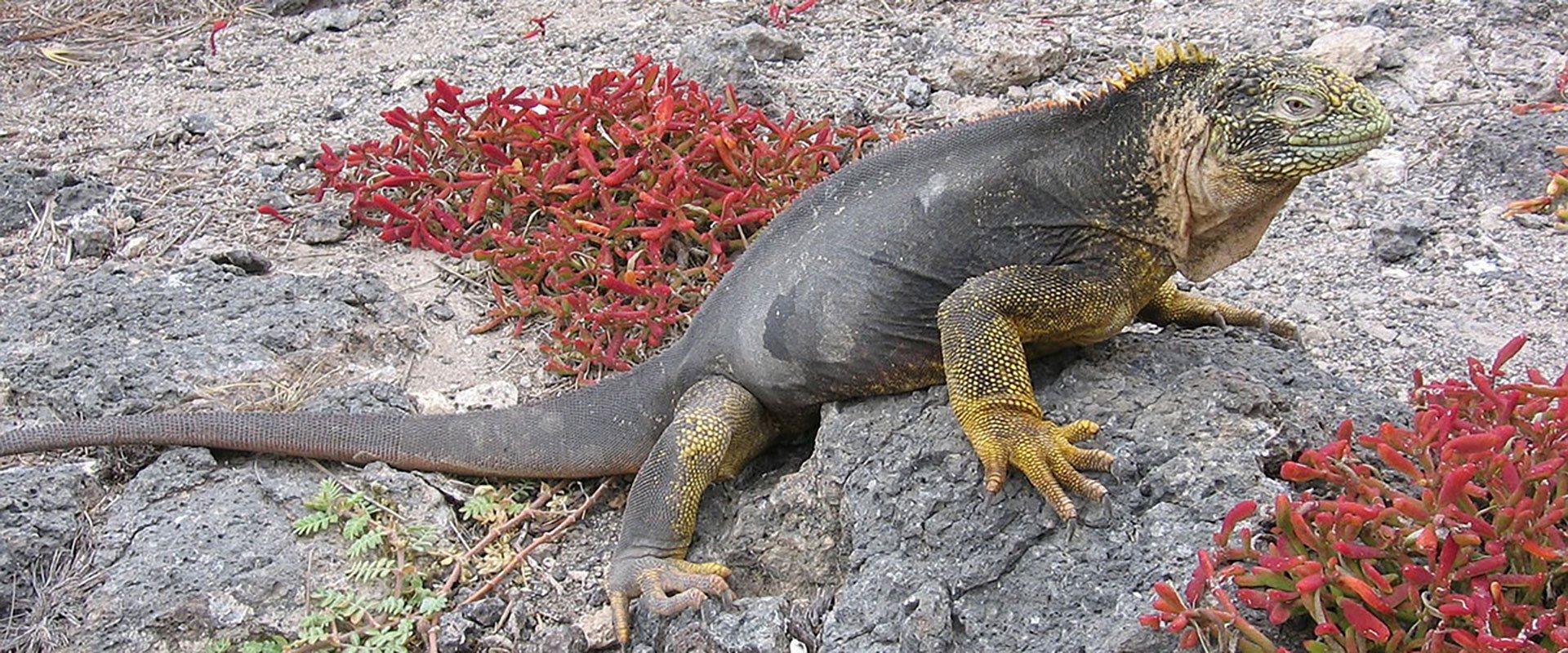 iguane iles galapagos