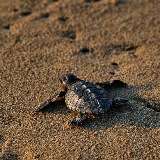 tierra-latina-marco-bicca-tortue-costa-rica