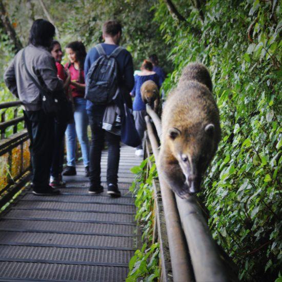 argentine parc national chute iguazu nature luxuriante verdoyant merveille proximité curiosité coati animal faune