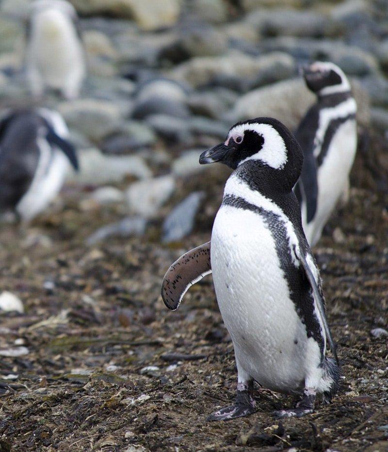 argentine ushuaia bout du monde parc national de la terre de feu manchot de magellan nature immersion faune nature