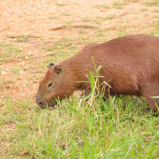 Bresil Pantanal Capybara cabiaï parc
