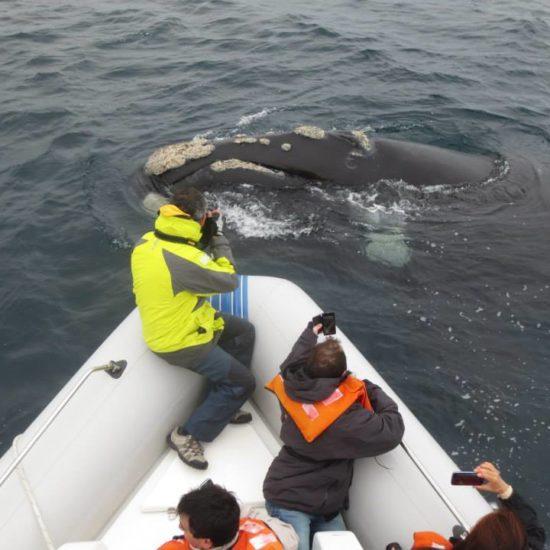argentine puerto madryn péninsule baleines découverte faune mammifère marin observation patagonie sous marine bateau proximité