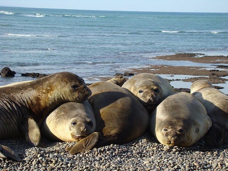argentine puerto madryn péninsule phoques découverte faune mammifère marin observation patagonie