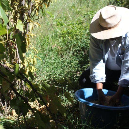 argentine chez l'habitant récolte raisin vin vignoble vendange vigne vigneron à la main nord