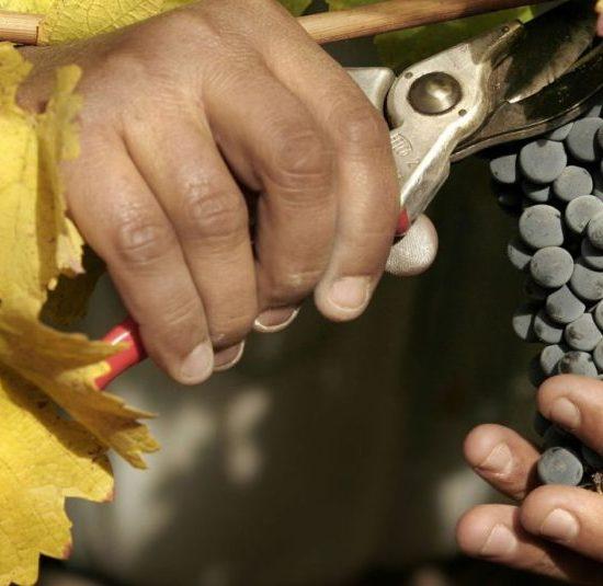 argentine vin vigne vignoble culture locale gastronomie patrimoine mendoza vigneron viticulteur panier raisins nature taille sécateur fait à la main feuill