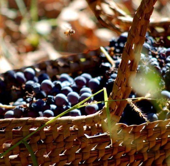argentine vin vigne vignoble culture locale gastronomie patrimoine mendoza vigneron viticulteur panier raisins nature