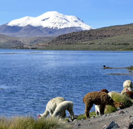 Chili parc lauca altiplano montagne nature alpaga lac