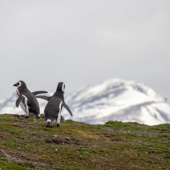 argentine bout du monde patagonie parc national terre de feu ushuaia canal de beagle ile manchot magellan nature faune