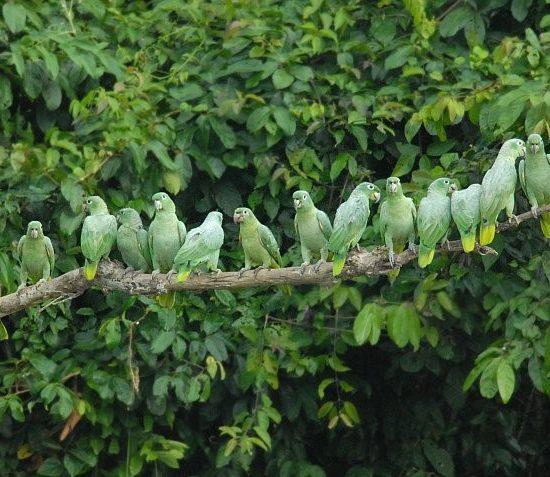 pérou iquitos oiseaux perroquets verts