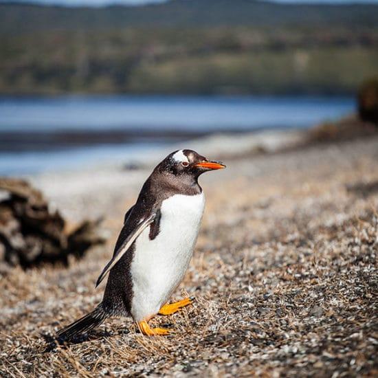argentine patagonie parc national terre de feu bout du monde manchot magellan nature hostile sauvage immersion découverte voyage croisière