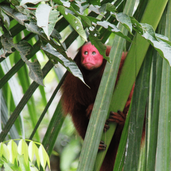singe jungle pérou voyage tierra latina iquitos