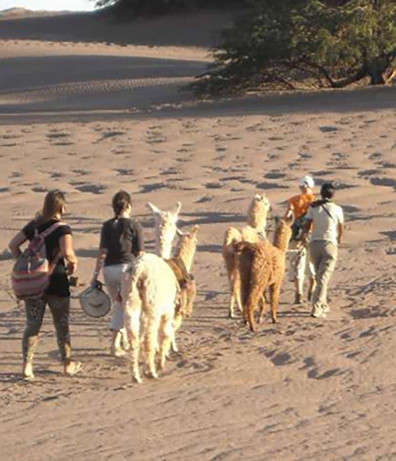 chili désert san pedro de atacama alpaga lama trek randonnée