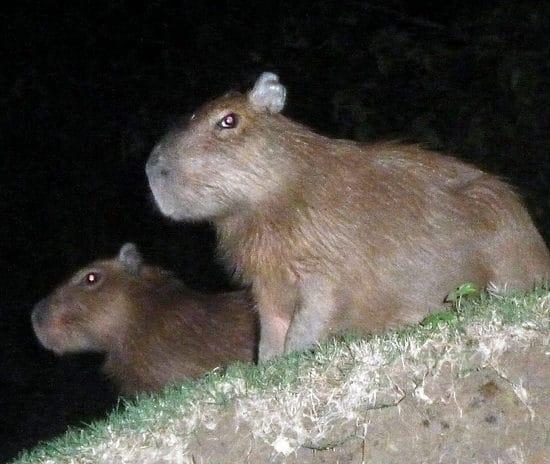 pérou puerto maldonado capybara