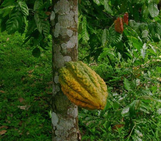 fève caco pérou amazonie forêt flore nature