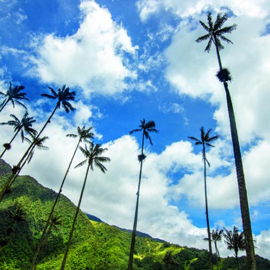 colombie vallée cocora palmiers flore