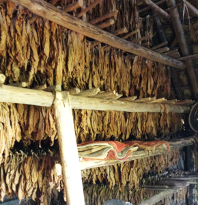 Culture de tabac Cuba