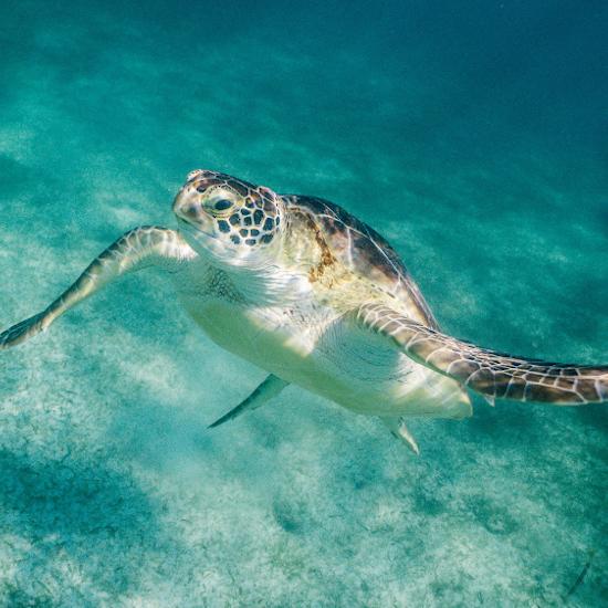 Mexique Tortue Marine Yucatan Mer Plongée Snorkeling Ile Cozumel eau turquoise faune proximité plongée