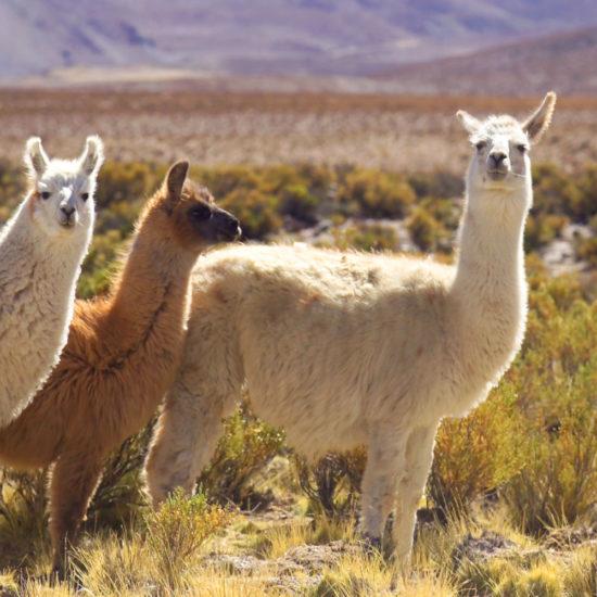 Tierra Latina voyage Argentine Nord Ouest Argentin Lama