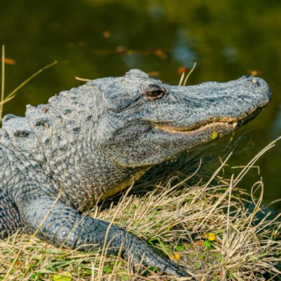 TierraLatina-Mexique-Chiapas-Crocodile-Yaxchilan-Fleuve