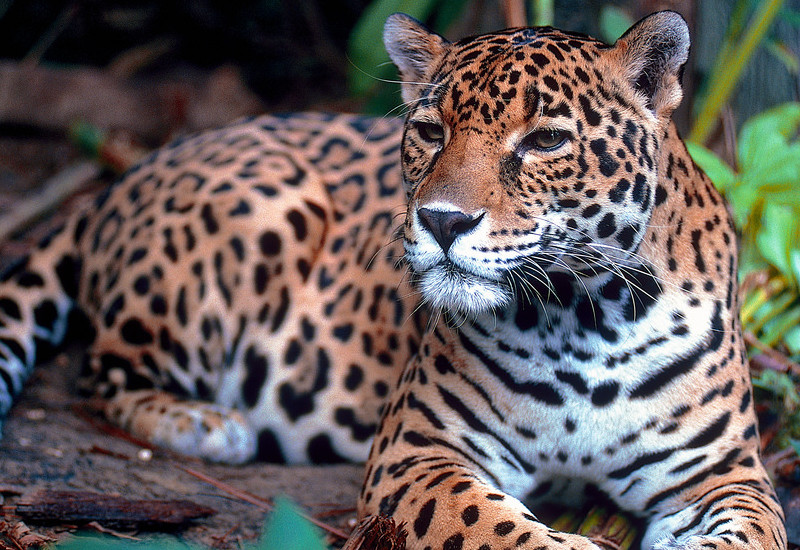 TierraLatina-Mexique-Chiapas-Jungle-Jaguar-Tropical-Roi-de-la-jungle