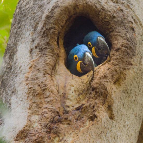 TierraLatina-Bresil-Mato-Grosso-Pantanal-Aras-Bleu