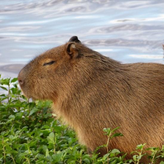 TierraLatina-Bresil-Mato-Grosso-Pantanal-Capybara