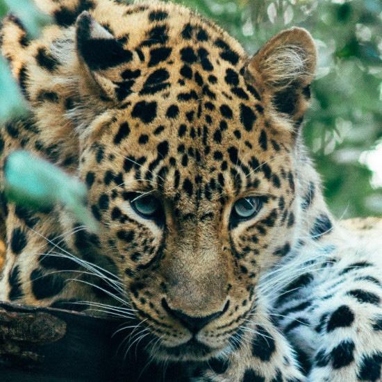 TierraLatina-Bresil-Mato-Grosso-Pantanal-Jaguar-Félin