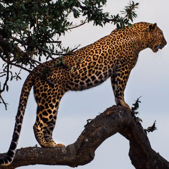 TierraLatina-Bresil-Mato-Grosso-Pantanal-Jaguar