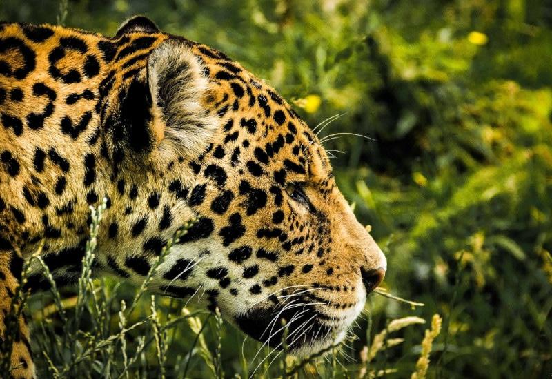 TierraLatina-Pantanal-Brésil-Jaguar-Prédateur