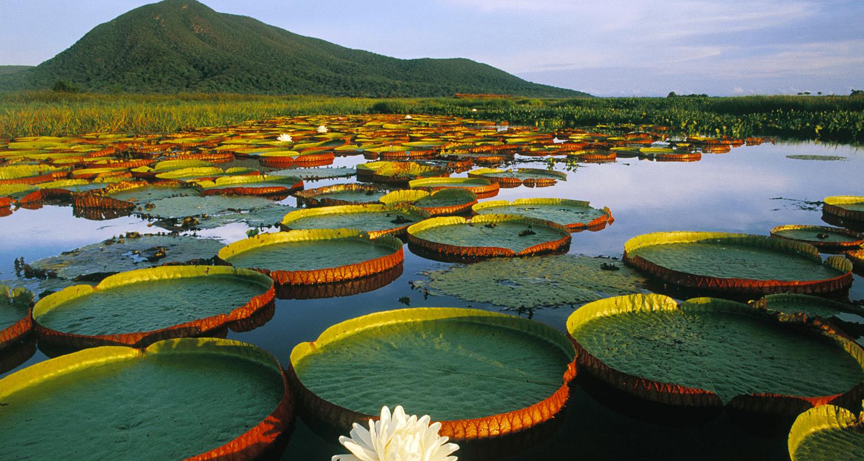 TierraLatina-Pantanal-Marécage-Nénuphar-Fleur