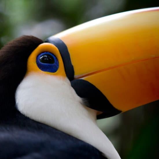 toucan oiseau costa rica bresil