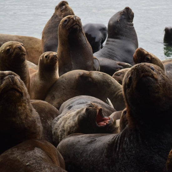 tierra-latina-observation-baleines-voyage-chili-isla-carlos-III-whalesound-colonie-lions-de-mer
