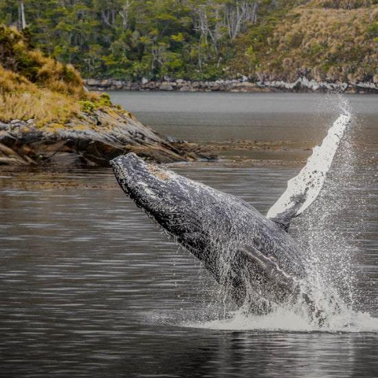 tierra-latina-voir-baleines-voyage-chili-isla-carlos-III-whalesound