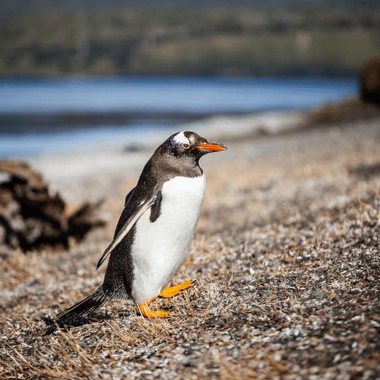 tierra-latina-ushuaia-pinguinera-manchots-de-magellan-photo-madame-oreille.png