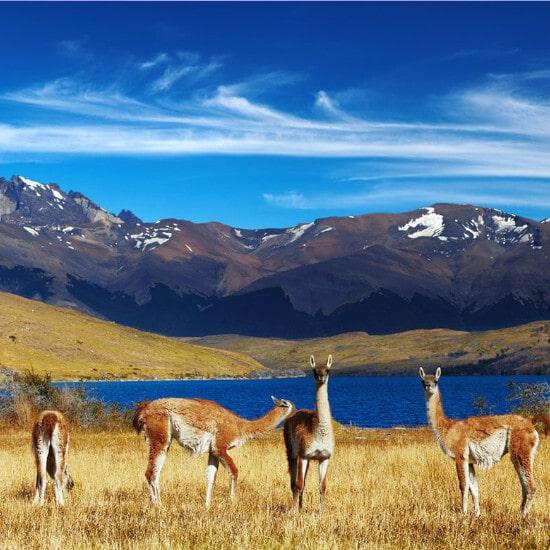 tierra-latina-parc-national-torres-del-paine-guanacos