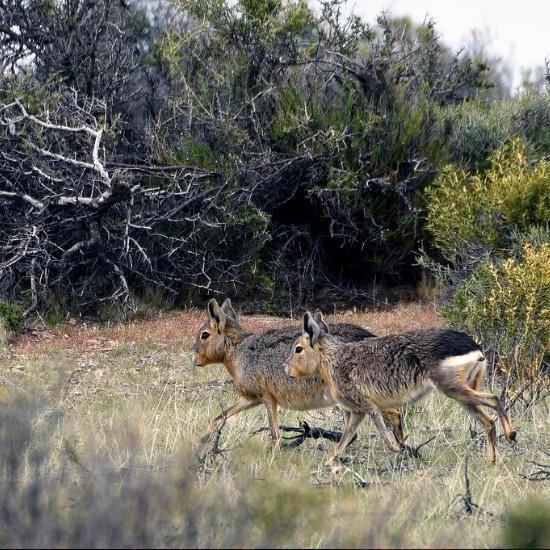 tierra-latina-bahia-bustamante-faune-lievres-sauvages-patagonie