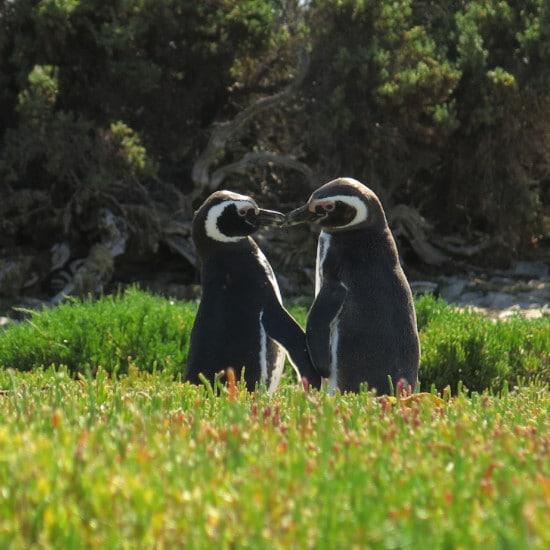 tierra-latina-bahia-bustamante-manchot-magellan-pingouin-patagonie