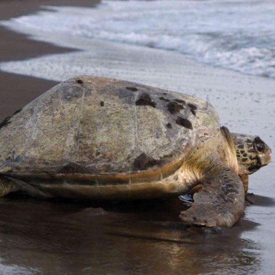 tierra-latina-tortue-parc-national-tortuguero-costa-rica